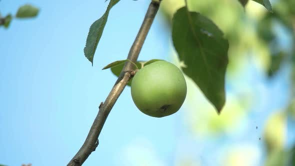 Thumbnail for Apples on the Branch