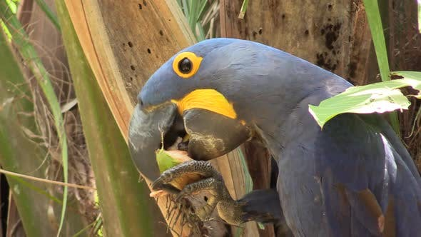 Thumbnail for Hyacinth Macaw Adult Lone Eating Chewing Gnawing Nut Palm Fruit