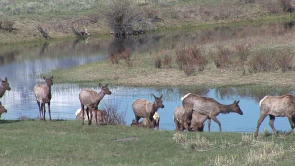 Thumbnail for Elk Cow Female Adult Immature Herd Many Walking Moving in Spring Water