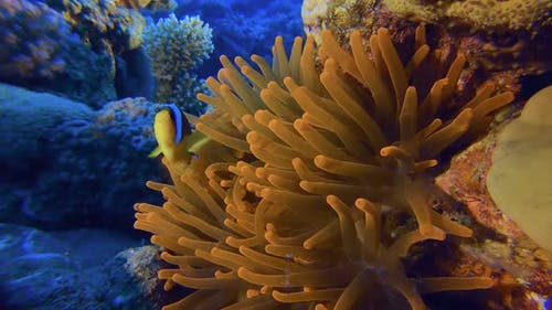 Tropical Colorful Clownfish