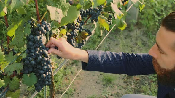Thumbnail for Man on Vineyard with Special Instrument Standing on Green Vineyard