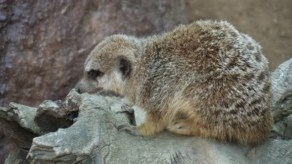 Thumbnail for Funny Meerkat Sitting on a Stone and Yawning in a Zoo on a Sunny Day in Summer