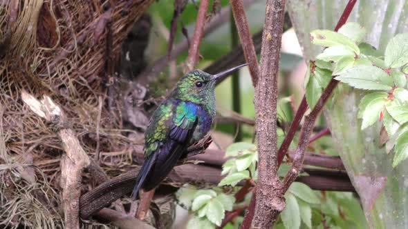 Thumbnail for Colorful Green-crowned Woodnymph Hummingbird Iridescent Feathers in Jungle