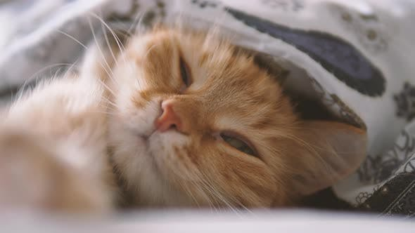 Thumbnail for Cute Ginger Cat Sleeps in Bed. Fluffy Pet Comfortably Settled Under Blanket.