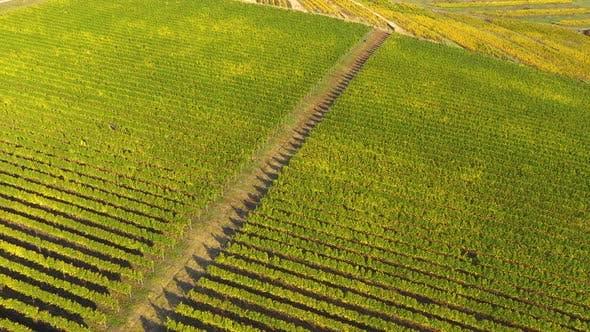 Flying Above a Vineyard in Transylvania, Romania