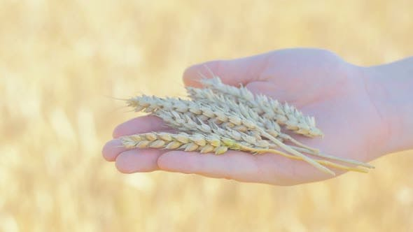 Thumbnail for Rye Spikelets In Man's Hand