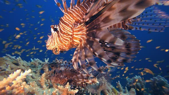 Thumbnail for Tropical Coral Reef Lionfish
