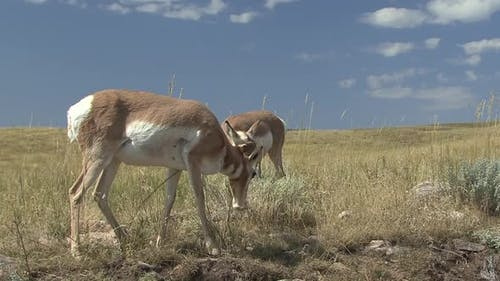 Pronghorn Antelope Doe Female Adult Immature Pair Eating Grazing in Autumn