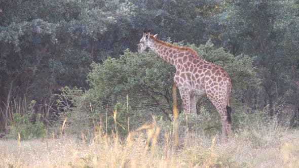 Thumbnail for Giraffe eating from a tree