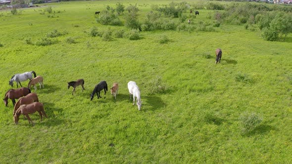 Thumbnail for A Herd of Horses Graze in a Green Meadow Along the River