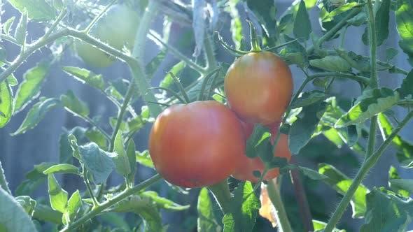 Thumbnail for Frische rote reife Tomaten auf Weinstock im Garten angebaut