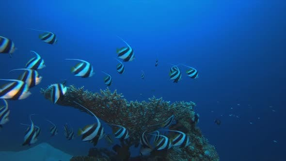Thumbnail for Underwater Colorful Reef Corals Banner-Fish