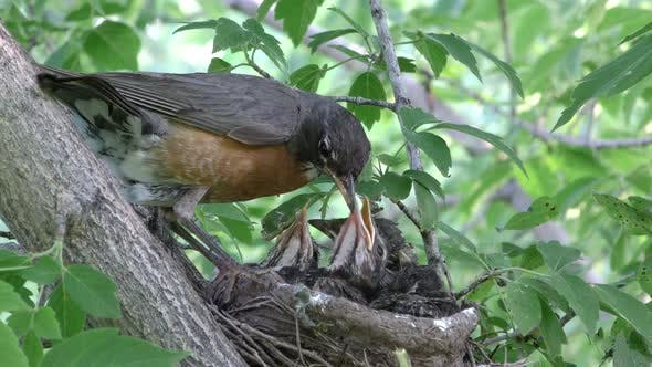 Thumbnail for Robin Adult Chick Young Family Nesting in Summer in South Dakota