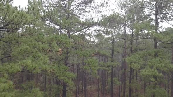 Thumbnail for Descending Drone Going Down Southern Longleaf Pine Tree Grove Stand