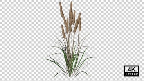 Dry Wheat Growing 4K