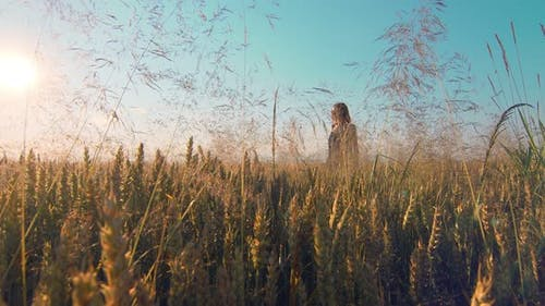 Woman Walking on a Field of Golden Wheat at Sunset Facing the Camera. A Woman Smiling and Touching