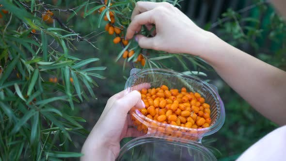 Thumbnail for Female Hands Harvested Sea Buckthorn Close Up. Ripe Sea-buckthorn Harvesting