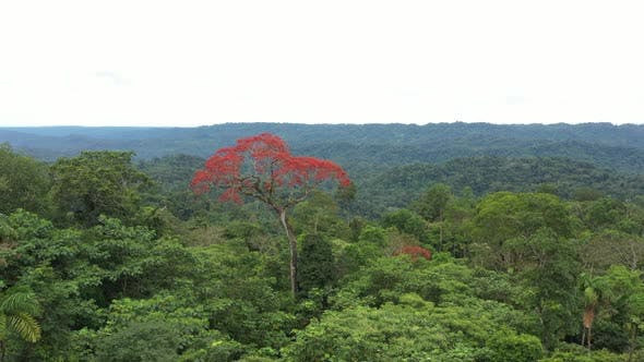 Aerial view of ceibo, a tropical tree, flowering with red flowers in the green canopy
