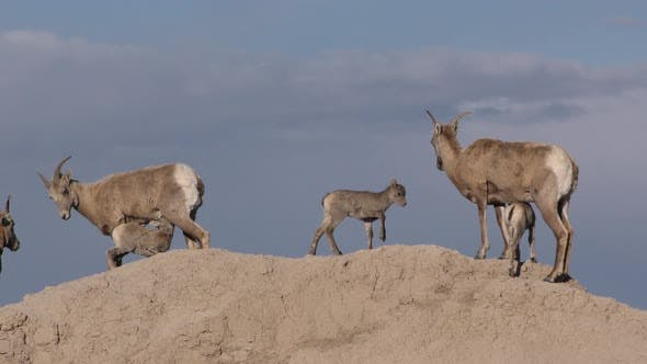 Thumbnail for Bighorn Sheep Female Ewe Adult and Fawn Kid Lamb Young Nursing on Badlands Ridgeline Butte Cliff