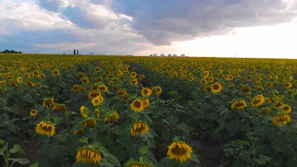 Thumbnail for Flight Over a Field with Sunflowers Against a Background of Thunderclouds