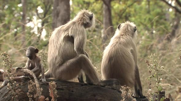 Gray Langur Monkey Female Adult Young Several Alarmed Nervous Wary in Spring Babies