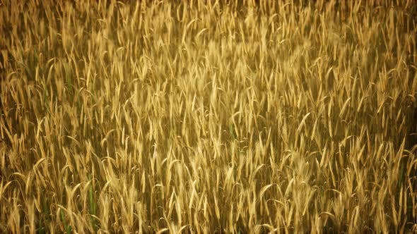 Thumbnail for Ripe Yellow Rye Field Under Beautiful Summer Sunset Sky with Clouds