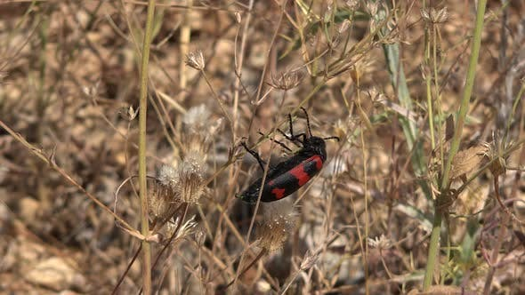 Thumbnail for A Red Black Spotted Soldier Beetle on Leaves of Dry Weed Herb