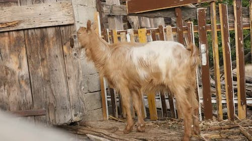 Improvised stall adapted for domesticated goats 4K 2160p 30fps UltraHD footage - Close-up of curious