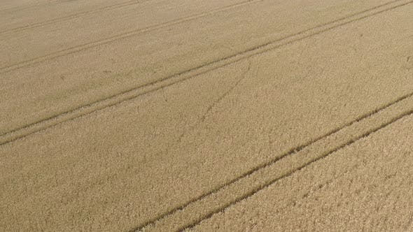 Traces in the wheat field of crop from tractor sprayer tire 4K aerial video
