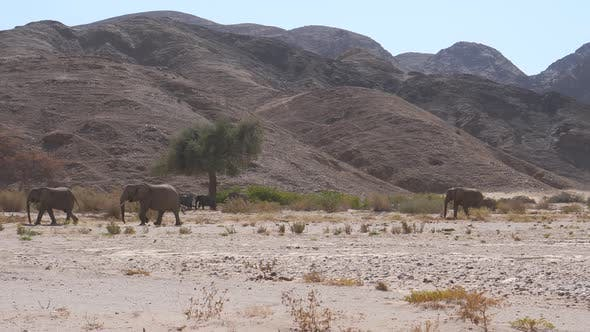 Herd of elephants walking on the dry Hoanib Riverbed