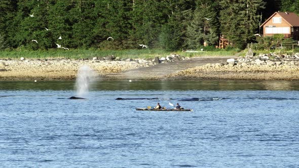 Thumbnail for Whales swimming along the shore in Alaska