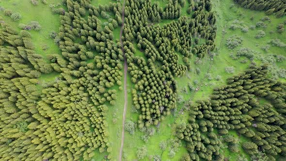 Pine Forest Aerial Footage