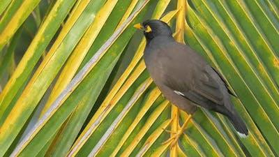 Mynah bird on palm branch