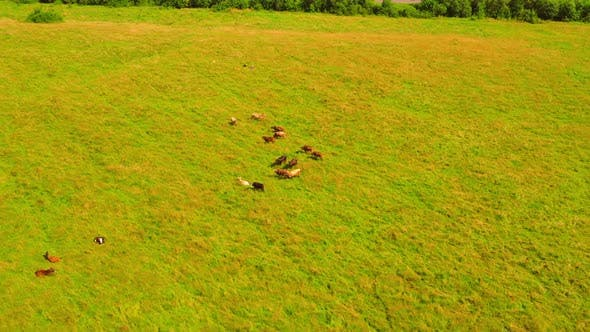 Aerial View Livestock Outdoors in Sunlight