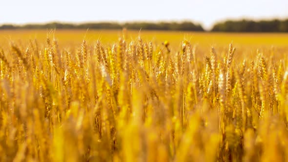 Thumbnail for Cereal Field with Wheat Spikelets