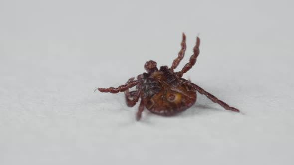 Thumbnail for Blood-sucking Mite Tries To Stand Up From Its Back To Legs on the White Background