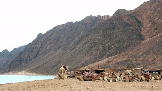Thumbnail for Camels Caravan Going in Sahara Desert in Dahab