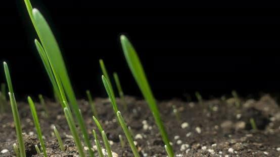 Fresh Grass Growing Macro Timelapse