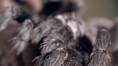 Fluffy Tarantula's Legs