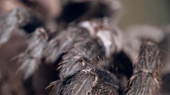 Thumbnail for Fluffy Tarantula's Legs