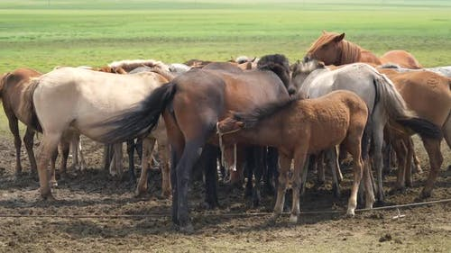 A Foal Mother Sucks Horse's Milk