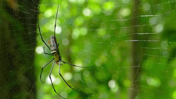 Thumbnail for Large Nephila Spider with Her Cub on the Web