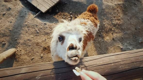 A Child Feeds a Cool Alpaca