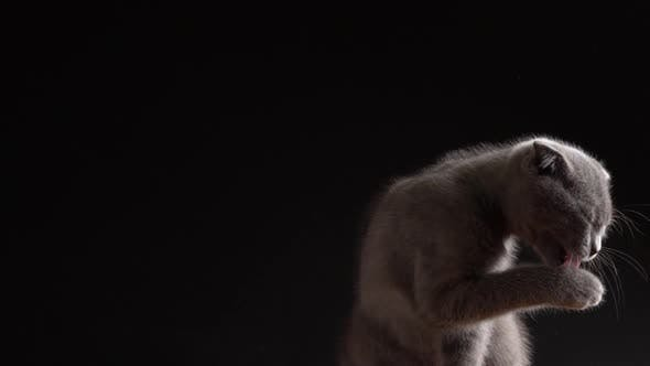 British Scottish Fold Cat Close Up Portrait
