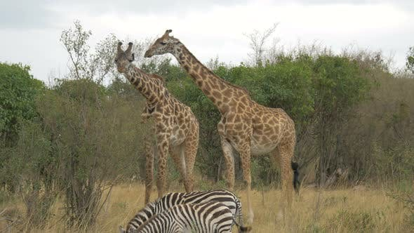 Thumbnail for Two giraffes and two zebras eating