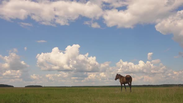 Thumbnail for One Beautiful Horse Grazing in Field