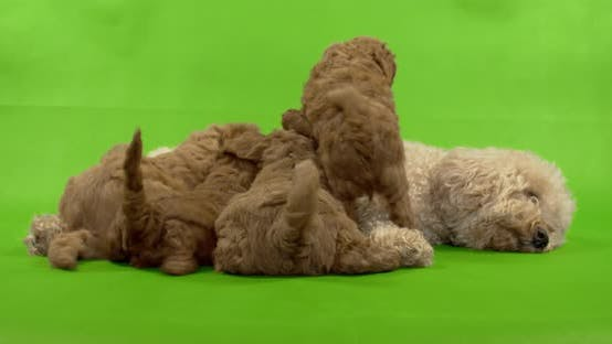 Dog, breed poodle, feeds little puppies.