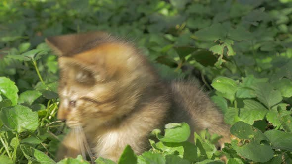 Thumbnail for Kitten in the garden  playing with plants   outdoor  4K 2160p UHD video - Cat in the grass  laying o