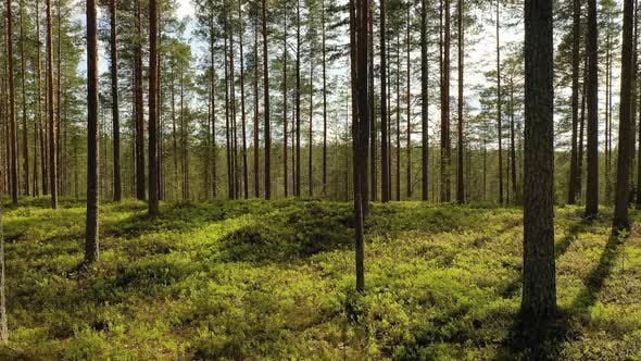 Cover Image for Forest in Finland