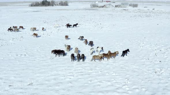 Thumbnail for A Pack of Beautiful Icelandic Horses in Snowy Conditions